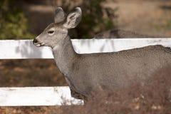 Vista laterale dei cervi della coda bianca Immagine Stock