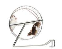 Vista laterale dei topi domestici comuni che giocano in una ruota Fotografia Stock