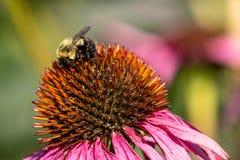 Vista laterale del bombo con polline sulle sue gambe fotografia stock libera da diritti