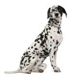 Vista laterale del cane Dalmatian, sedentesi Immagini Stock Libere da Diritti