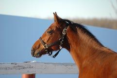 Vista laterale del cavallo d'un anno Fotografia Stock Libera da Diritti