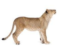 Vista laterale del cub di leone, 8 mesi, levantesi in piedi Fotografia Stock Libera da Diritti