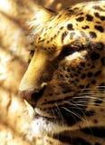 Vista laterale del fronte del leopardo del primo piano Fotografia Stock Libera da Diritti