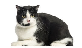 Vista laterale del gatto europeo che si trova, esaminante la macchina fotografica, isolata Fotografia Stock
