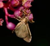 Vista laterale del lepidottero zingaresco che appende sul fiore di Medinella Magnifica Immagine Stock Libera da Diritti