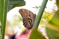 Vista laterale del memnon di caligo della farfalla del gufo Fotografia Stock