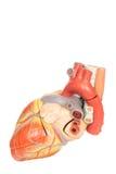 Vista laterale del modello umano del cuore Fotografia Stock Libera da Diritti