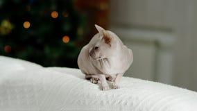 Vista laterale del phinx del gatto sul sofà video d archivio