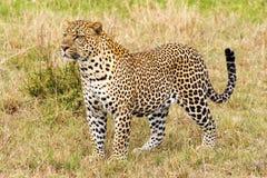 Vista laterale del primo piano del leopardo Fotografia Stock Libera da Diritti