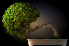 Vista laterale dell'albero dei bonsai Immagine Stock