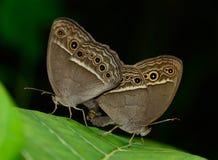 Vista laterale dell'allevamento marrone della farfalla (perseus di Mycalesis) sopra Fotografia Stock