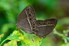 Vista laterale dell'allevamento marrone della farfalla (perseus di Mycalesis) sopra Fotografie Stock Libere da Diritti