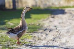 Vista laterale dell'oca sana grassa matura domestica bianco-grigia che sta sull'erba verde nell'iarda il giorno soleggiato lumino Fotografia Stock Libera da Diritti