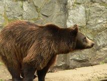 Vista laterale dell'orso di Brown fotografia stock