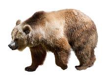 Vista laterale dell'orso Isolato sopra bianco Fotografia Stock Libera da Diritti
