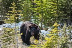 Vista laterale dell'orso nero Immagini Stock Libere da Diritti