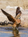 Uccello che lava in acqua Fotografia Stock