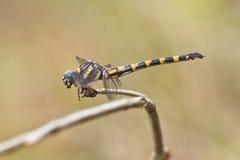 Vista laterale della bella libellula Immagine Stock