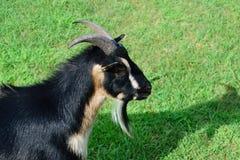 Vista laterale della capra nana cornuta Fotografie Stock