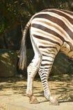 Vista laterale della gamba posteriore della zebra Immagine Stock Libera da Diritti