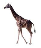 Vista laterale della giraffa. Isolato sopra bianco fotografia stock
