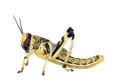 Vista laterale della larva della locusta del deserto Fotografie Stock Libere da Diritti