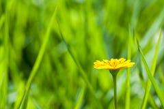 Vista laterale della margherita gialla Fotografia Stock Libera da Diritti