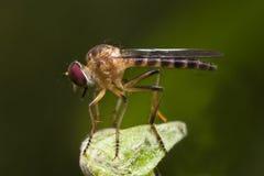 Vista laterale della mosca di ladro Immagini Stock Libere da Diritti