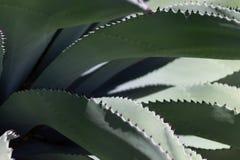 Vista laterale della pianta dell'agave Fotografie Stock Libere da Diritti