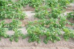 Vista laterale della piantagione della patata Immagini Stock