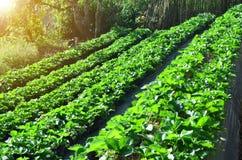 Vista laterale della piantagione organica della fragola sul punto della montagna, Immagini Stock