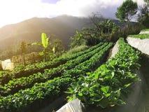 Vista laterale della piantagione organica della fragola sul punto della montagna, Fotografia Stock Libera da Diritti
