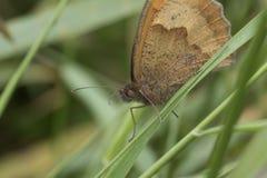Vista laterale della piccola farfalla marrone Immagine Stock