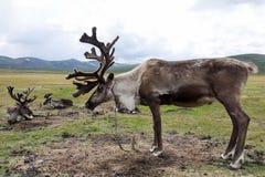 Vista laterale della renna in Mongolia del Nord immagini stock libere da diritti