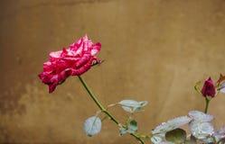 Vista laterale delle rose rosa scure Immagini Stock