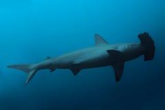 Vista laterale dello squalo martello in oceano Fotografia Stock