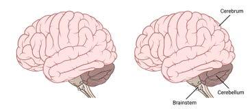 Vista laterale di anatomia del cervello umano pianamente illustrazione vettoriale