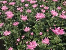 Vista laterale di bella margherita o crisantemo rosa Fotografia Stock Libera da Diritti