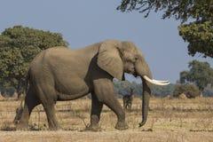 Vista laterale di camminata del toro dell'elefante africano Fotografia Stock Libera da Diritti