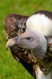 Vista laterale di Griffon Vulture di Ruppel Fotografia Stock