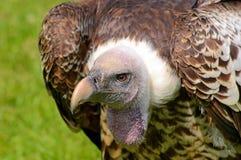 Vista laterale di Griffon Vulture di Ruppel Immagine Stock Libera da Diritti