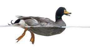 Vista laterale di Mallard nell'acqua, quacking Immagine Stock