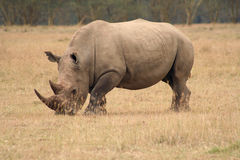 Vista laterale di rinoceronte bianco Immagini Stock Libere da Diritti