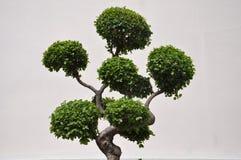 Vista laterale di un albero dei bonsai dell'ars topiaria fotografia stock