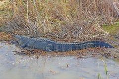Vista laterale di un alligatore americano in uno stagno Fotografie Stock Libere da Diritti