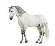 Vista laterale di un andaluso maschio con la criniera intrecciata, 7 anni, anche conosciuti come il cavallo spagnolo puro o PRE Immagini Stock Libere da Diritti