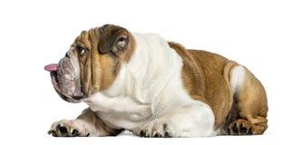 Vista laterale di un bulldog inglese, cane che attacca la lingua fuori, iso fotografia stock libera da diritti