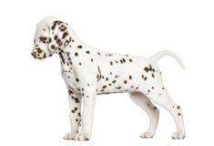 Vista laterale di un cucciolo dalmata che sta su, guardante giù Immagine Stock
