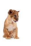 Vista laterale di un cucciolo di leone Fotografia Stock