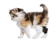 Vista laterale di un gattino diritto dell'altopiano che cammina, allarme, isolato Fotografia Stock
